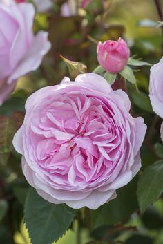 3 NEW David Austin Roses.'Olivia Rose Austin' This is a landmark introduction… David Austin Roses, Pink Roses, Pink Flowers, Rose Varieties, Olivia Rose, Types Of Roses, Shrub Roses, Little Gardens, Wars Of The Roses
