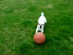 Dog balances a basketball while running.