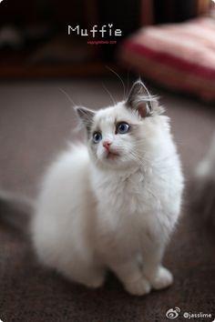 Ragdoll Cat Gallery - Cat's Nine Lives Ragdoll Cats, I Love Cats, Cute Cats, Hello Kitten, Cat Shots, Raising Rabbits, Birman Cat, Beautiful Cats, Softies