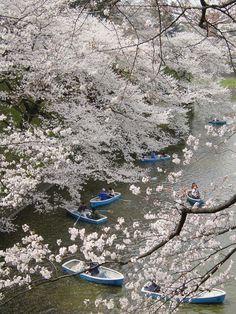 Sakura Tokyo Japan