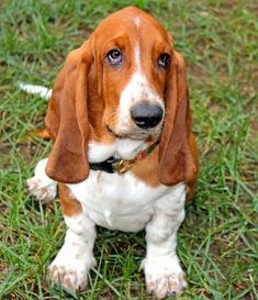 Going to post all of Archie's photos....too cute to pass up  -  Archie the Basset Hound