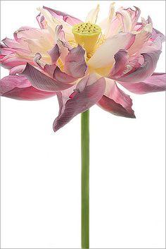 Lotus Flower - IMG_8700-1000