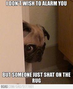 Peeking Pug