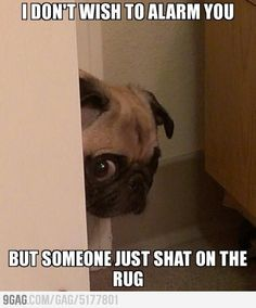 I can't stop laughing! Typical pug and that's why I love them!