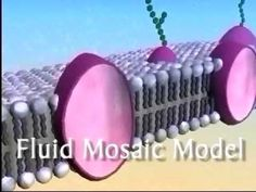 The Plasma Membrane acts as a barrier and a gateway between the inside and outside of a cell. There are different types of movement through a plasma membrane.