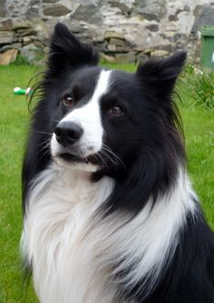 Beautiful Border Collie....