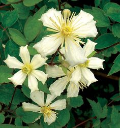 Fargesioides Flower Colour: white Flower Form: single-in-mass Flower Size: 1-2in-3-5cm Flowering Period: july-september Mature Height: 12-15ft-3.5-4.5m Pruning Requirements: groupc-prune-hard Planting Aspect: sun-partial-sun-bright-shade USDA Zone: 4 Foliage Type: deciduous