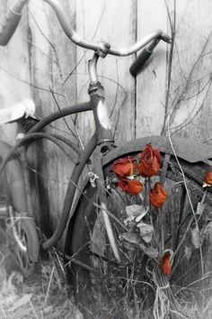 Love this Old Bike with Roses growing thru the wheel spokes <3