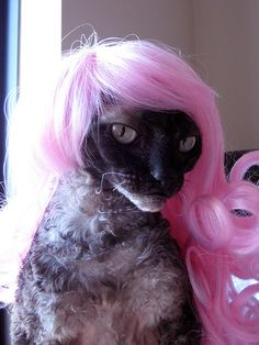Cornish Rex kitty with a kitty wig