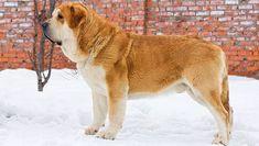 Spanish Mastiff Dog Breed Information - American Kennel Club Mastiff Dog Breeds, Akc Breeds, Mastiff Puppies, Giant Dog Breeds, Giant Dogs, Bull Terrier, Boston Terrier, Terrier Mix, Bearded Collie