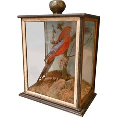 Crimson Rosella in Case | From a unique collection of antique and modern taxidermy at https://www.1stdibs.com/furniture/more-furniture-collectibles/taxidermy/