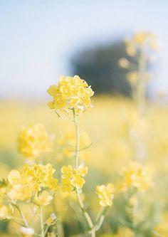 Ana Rosa Yellow flowers