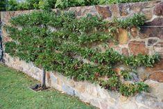 How to Espalier Fruit Trees: A Step-by-Step Guide Lawn And Garden, Home And Garden, Espalier Fruit Trees, Melbourne Australia, Garden Styles, Houzz, Beautiful Gardens, Outdoor Gardens, Garden Design