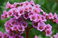 Bergenie 'Rotblum' - Bergenia cordifolia 'Rotblum'