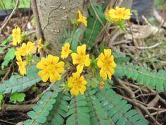 മുക്കൂറ്റി പൂവ് Back To Nature, Trees To Plant, Greenery, Seeds, Flowers, Plants, Tree Planting, Plant, Royal Icing Flowers