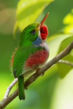"""""""Cuban Tody bird."""" Google search: """"The Cuban Tody is a bird species in the family Todidae that is restricted to Cuba and adjacent islands. Wikipedia."""" & """"The Cuban Tody eats mostly small adult and larval insects. It rarely eats small fruit. Some have been known to eat caterpillars, spiders.... -- thewebsiteofeverything.com."""""""