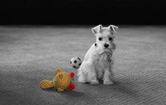 White Mini Schnauzer Puppy! This is new to me. We've always had Black, Salt & Pepper, and Black & Silver Schnauzers. I'm loving the white pups!