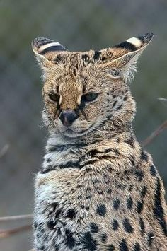 The Leopard's Serval - Cutest Paw Small Wild Cats, Big Cats, Cool Cats, Cats And Kittens, Animals And Pets, Funny Animals, Cute Animals, Beautiful Cats, Animals Beautiful