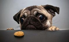 Pugs!!!!