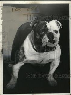 1940 Press Photo Bulldog. Pinned by Judi Crowe.
