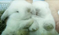 These painfully fuzzy bunnies just nuzzling one another and being in love. | The 33 Most Important Bunny GIFs On The Internet