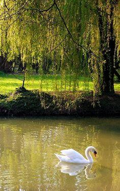 The swan in Maksimir, Zagreb - Croatia