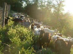 Chianti Cashmere goat farm -  Radda in Chianti.