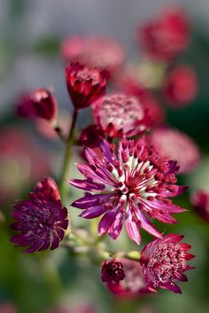 Astrantia, 'Ruby Wedding' by Henrietta Oke Amazing Flowers, Red Flowers, Beautiful Flowers, Macro Flower, Primroses, Ruby Wedding, Flower Fairies, Flowers Nature, Flower Power