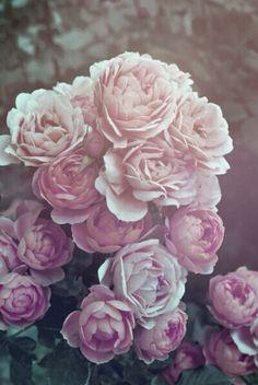 《》华丽 《》Gorgeous《》 ∫ ∫花卉 - Flowers ∫∫ 纯: : Purity in the Creation, Purity in a thought。Pure Inspiration. Beautiful Pink Roses, My Flower, Fresh Flowers, Beautiful Flowers, Floral Flowers, Beautiful Images, Wallpaper S8, Rose Gold Wallpaper, Wallpapers En Hd