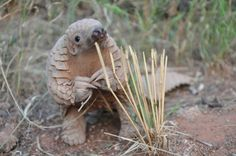 A Meal Worth Extinction? Pangolin Species Poached to the Brink of ...