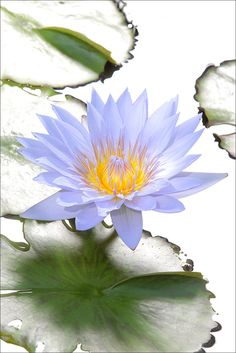 Blue Water Lily | Flickr - Photo Sharing!