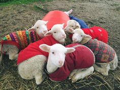 Lambs in sweaters is just about the greatest thing ever.