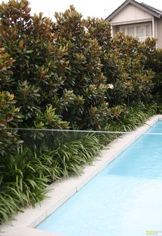 Evergreen Magnolia Hedge for privacy hedges. Evergreen Magnolia, Evergreen Hedge, Magnolia Trees, Little Gem Magnolia Tree, Magnolia Gardens, Pool Plants, Garden Plants, Agapanthus Garden, Gardens