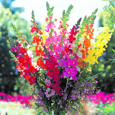 Snapdragons are a deer-resistant annual that offer color in spring and fall in most climates, and come in a variety of hues and heights Cut Flower Garden, Flower Farm, All Flowers, Beautiful Flowers, Easter Flowers, Beautiful Things, Snapdragon Flowers, Deer Resistant Plants, Modern Garden Design