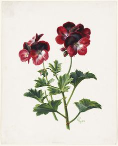Geraniums by Boston Public Library on Flickr.