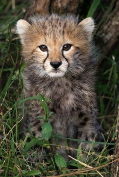 beautiful-wildlife: Cheetah Cub by Sergey Agapov Pretty Cats, Beautiful Cats, Animals Beautiful, Beautiful Pictures, Animals And Pets, Baby Animals, Cute Animals, Cute Kittens, Cats And Kittens