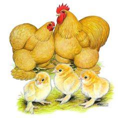 Buy Buff Cochin Bantam Chicks, Buff Cochin Bantam Chickens for Sale, Buff Cochin Bantam Picture Image