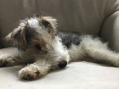 Chien Fox Terrier, Wirehaired Fox Terrier, Fox Terriers, Wire Fox Terrier, I Love Dogs, Cute Dogs, Animals And Pets, Cute Animals, Cute Dog Pictures