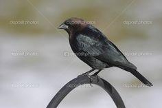 Brown-headed Cowbird (Molothrus ater) on a perch