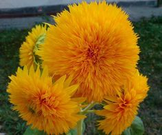 Tournesol soleil d'or double... ( Photo de la page de : Fleurs & fruits )