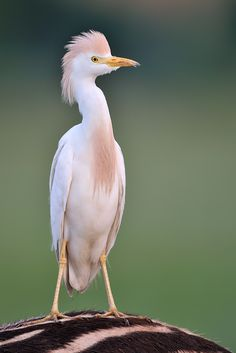 Cattle Egret!  Please support our Eco Bird Biscuit Campaign: http://www.indiegogo.com/projects/eco-bird-biscuit  #Birdfood