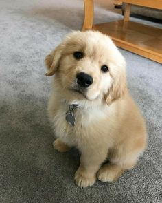 """Explore our web site for even more relevant information on """"golden retriever puppies"""". It is actually an outstanding area to get more information. Baby Animals Pictures, Cute Animal Pictures, Animals And Pets, Cute Dogs And Puppies, Baby Dogs, Pet Dogs, Doggies, Labrador Dogs, Lab Puppies"""