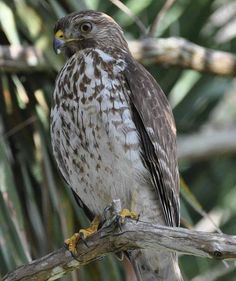 """""""Brown chested hawk or a Cooper's Hawk ? - South Florida - Feb. 2014 by Beatriz Fernandes"""""""