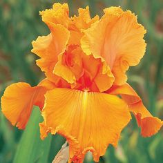 Orange Splash Iris