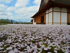 篠山城址大書院の風景(兵庫県篠山市)  sakura #japan