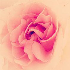 いただいた薔薇のお花 ふんわり淡ーい色かたまらないー  マリン行きたい  #お花 #花 #フラワー #植物 #自然 #バラ #薔薇 #綺麗 #カワイイ #ピンク #カラフル #癒し #はなまっぷ #花びら #flora #flower #flowers #petals #flowerstagram #plants #nature #beautiful #cute #pink #rose #colorful #instagood #landscape #healing #frills by malina1a7
