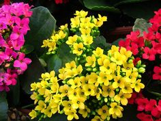 Kalanchoe blossfeldiana. Trives best på en lys plassering, men tåler ikke direkte sol. La jorden tørke lett ut mellom hver vanning.  Ingen gjødsling.  Både egnet til stueplante og utendørsplante.
