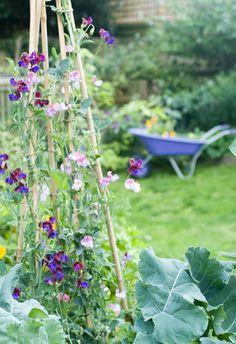Garden view with sweet peas and purple wheelbarrow in distance - © Julia Boulton/GAP Photos