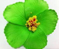 İlgili resim Hawaiian Flowers, Hibiscus Flowers, Bridal Hair Flowers, Color Mixing, Hair Clips, Beautiful Flowers, Green, Poppies, Plants