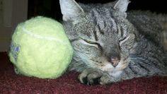 Lucky Cat taking a Nap against Tennis Ball Pillow